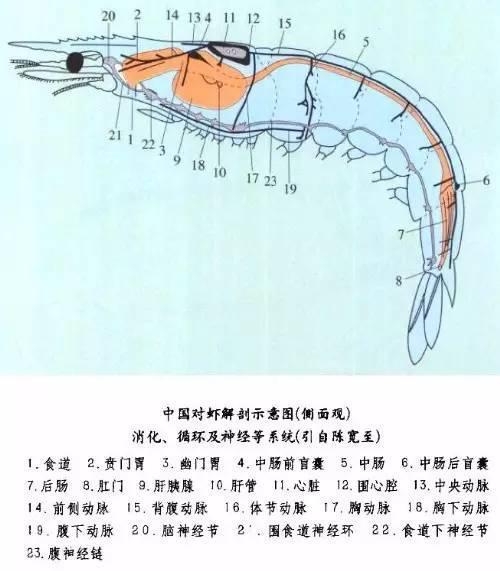 首页> 乐活> 正文  对虾的解剖结构,小龙虾也差不多.