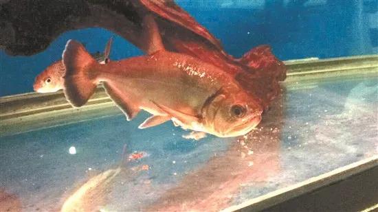 男子把食人鱼饿了15天,自己跳下鱼池检验成果,结果很意外