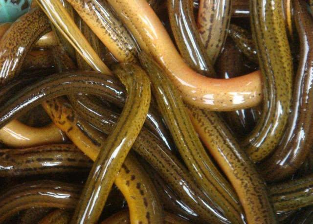 吃大排档里的这种黄鳝,等着拉肚子吧!