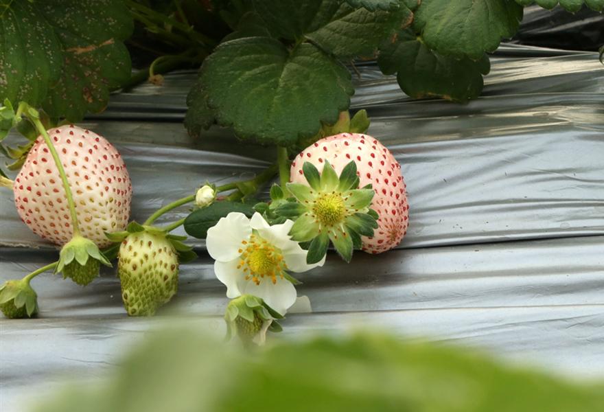 白草莓种苗图片