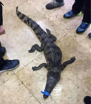 初生牛犊不怕虎,重庆3名小朋友抬鳄鱼报案