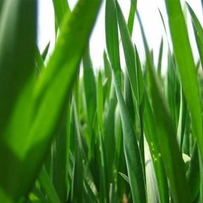 大麦青汁的营养成分如何?为什么商家说的那么神?