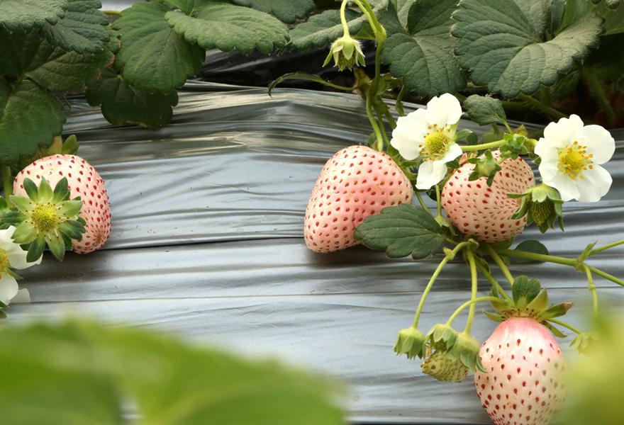白草莓蛋糕图片